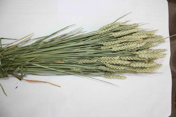 Weizen Bund ca. 200 Stiele natur-grün